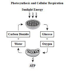 photosynthesis and cellular respiration.jpg