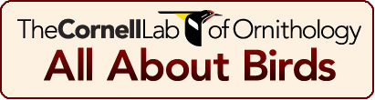 cornell lab or ornithology button