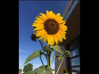 Spring Sunflower by Coach Stockton