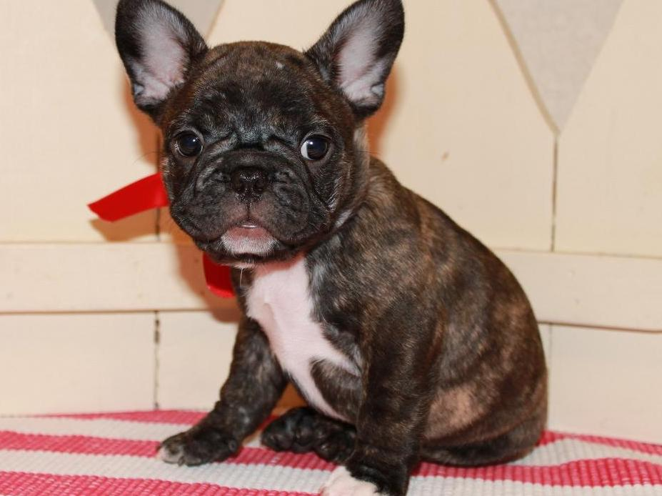 our new frenchie Madeline