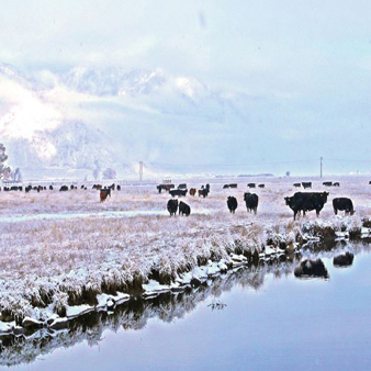 cold cows in snow