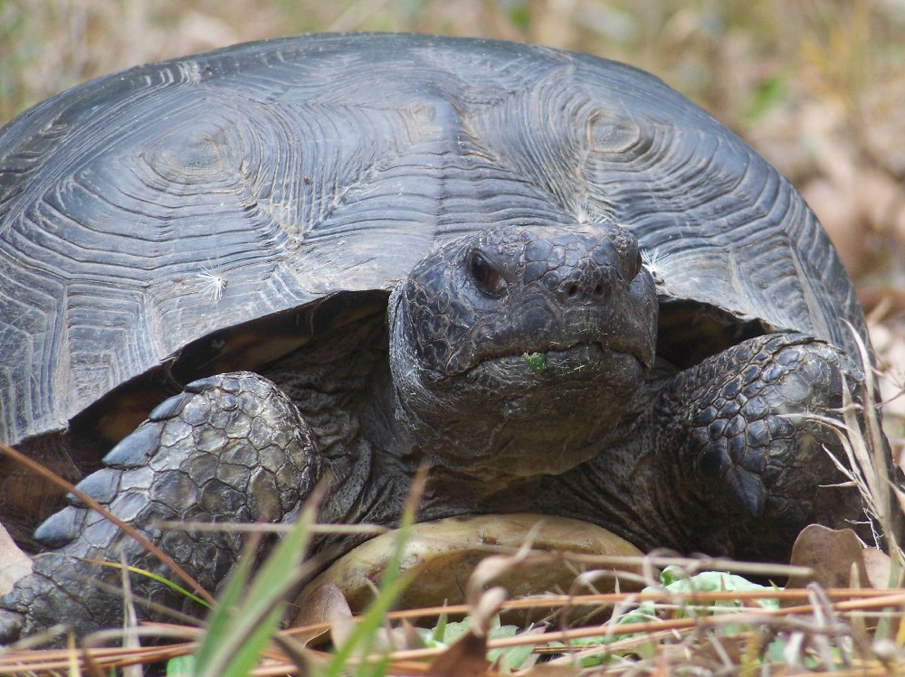 Gertrude the Gopher Tortoise  Gopherus polyphemus