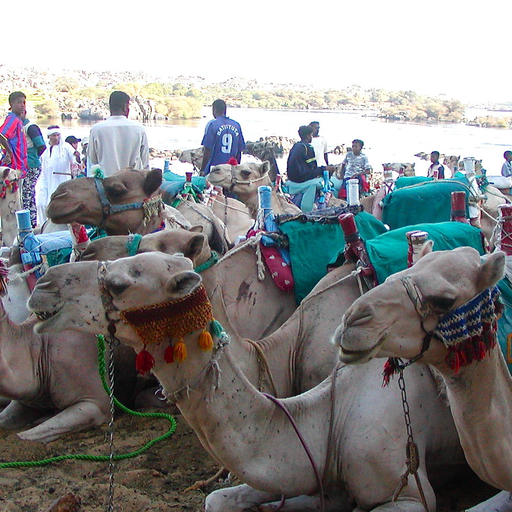 Camels along the Nile River in Egypt.