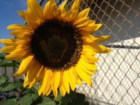 Sunflower growing on our campus