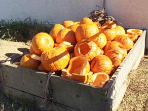 pumpkin recycling