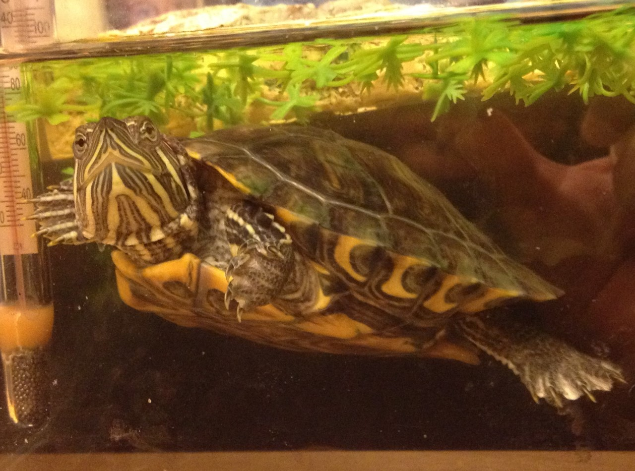 Fergus the Turtle