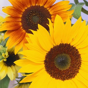 sunflowers-picture.jpg