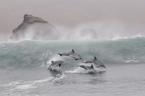 Dolphins in wave-South America.jpg