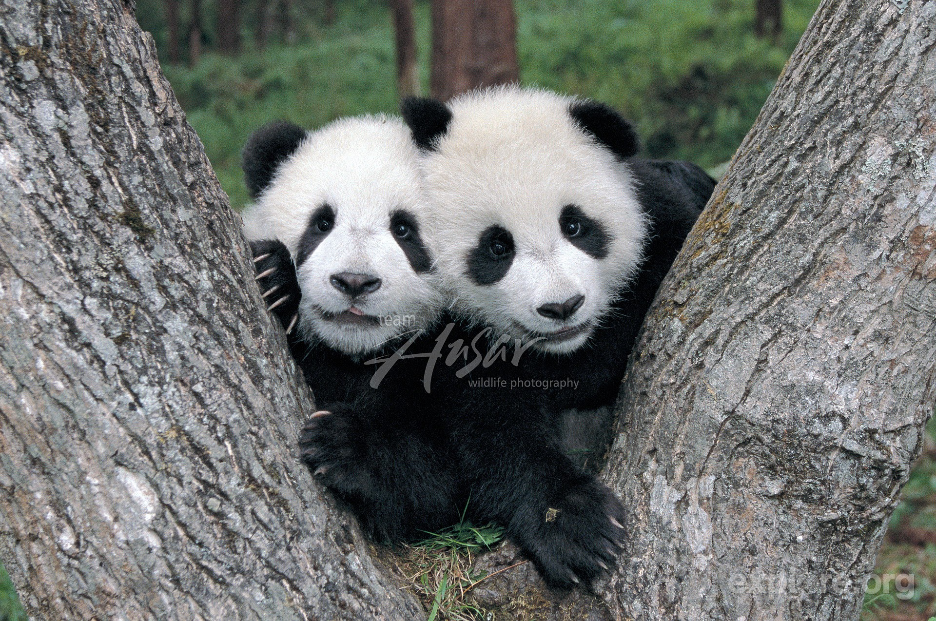 twin-panda-cubs-playing-in-the-fork-of-a-tree-w.jpg