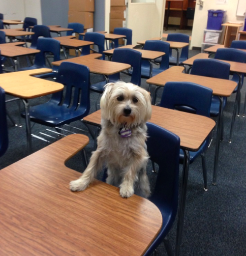 silky terrier with front paws on a classroom desk and feet on chair