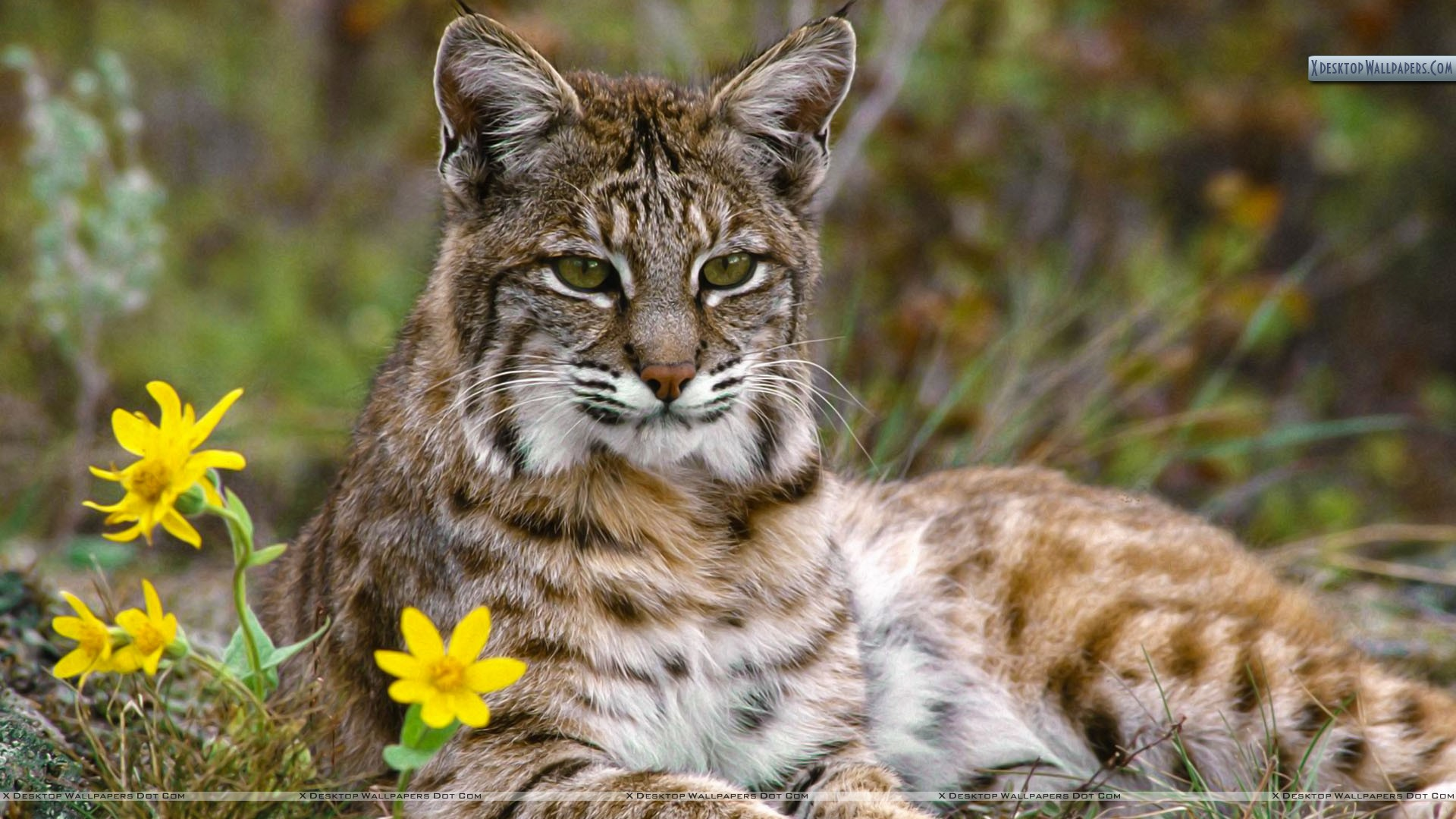 Photograph of Bobcat