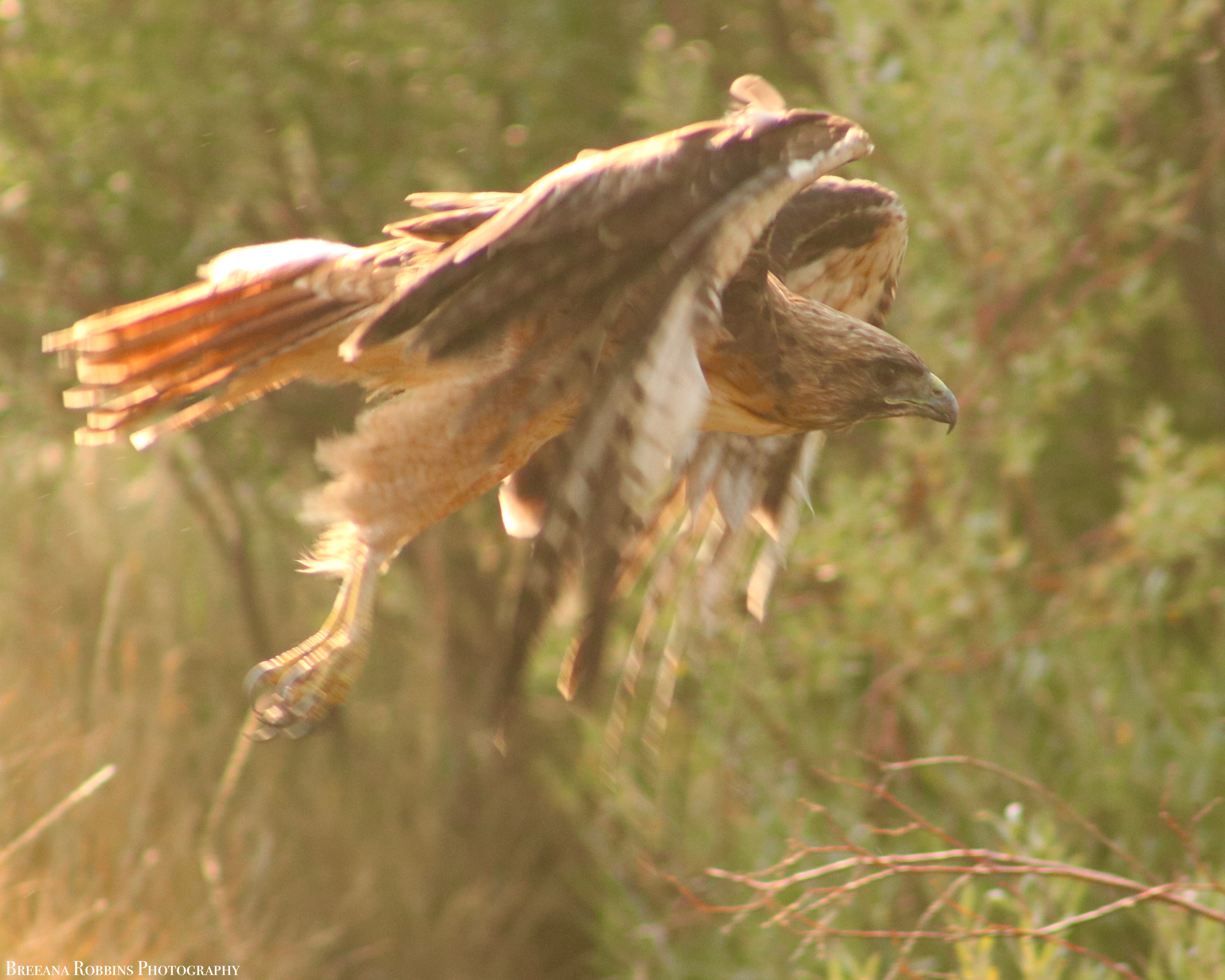 Red-tailed Hawk in Tahoe