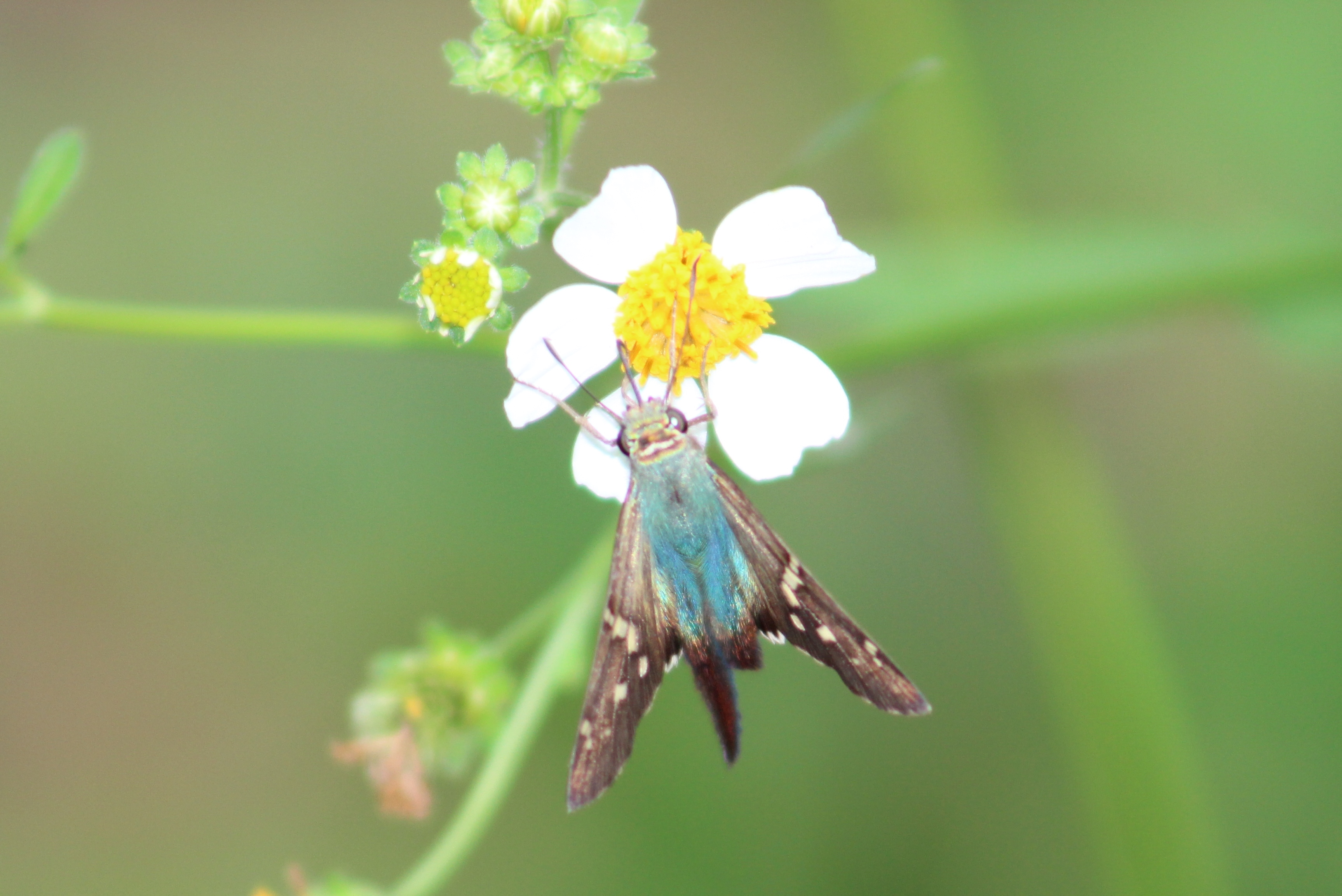 Moth and Flower