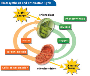 photosynthesis cellular respiration cycle