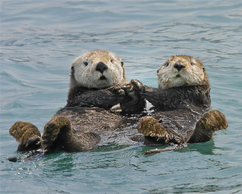sea_otters_holding_hands_by_ken_conger.jpg