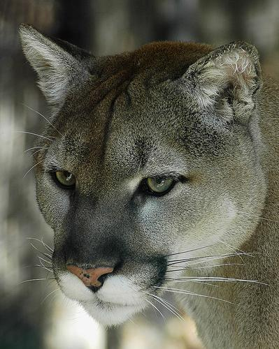 cougar-north-american-wildcat.jpg