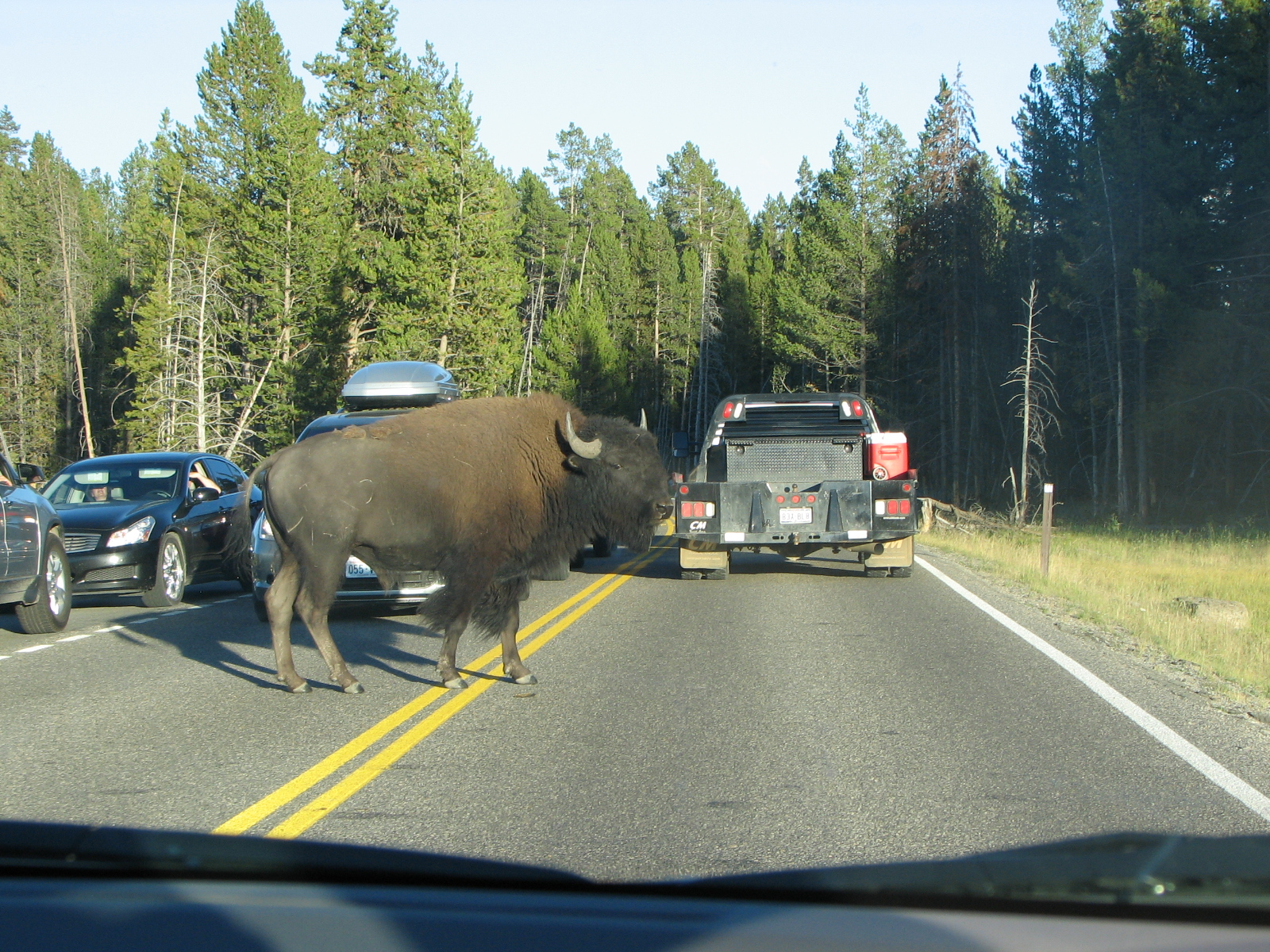 Bison jam in Yellowstone