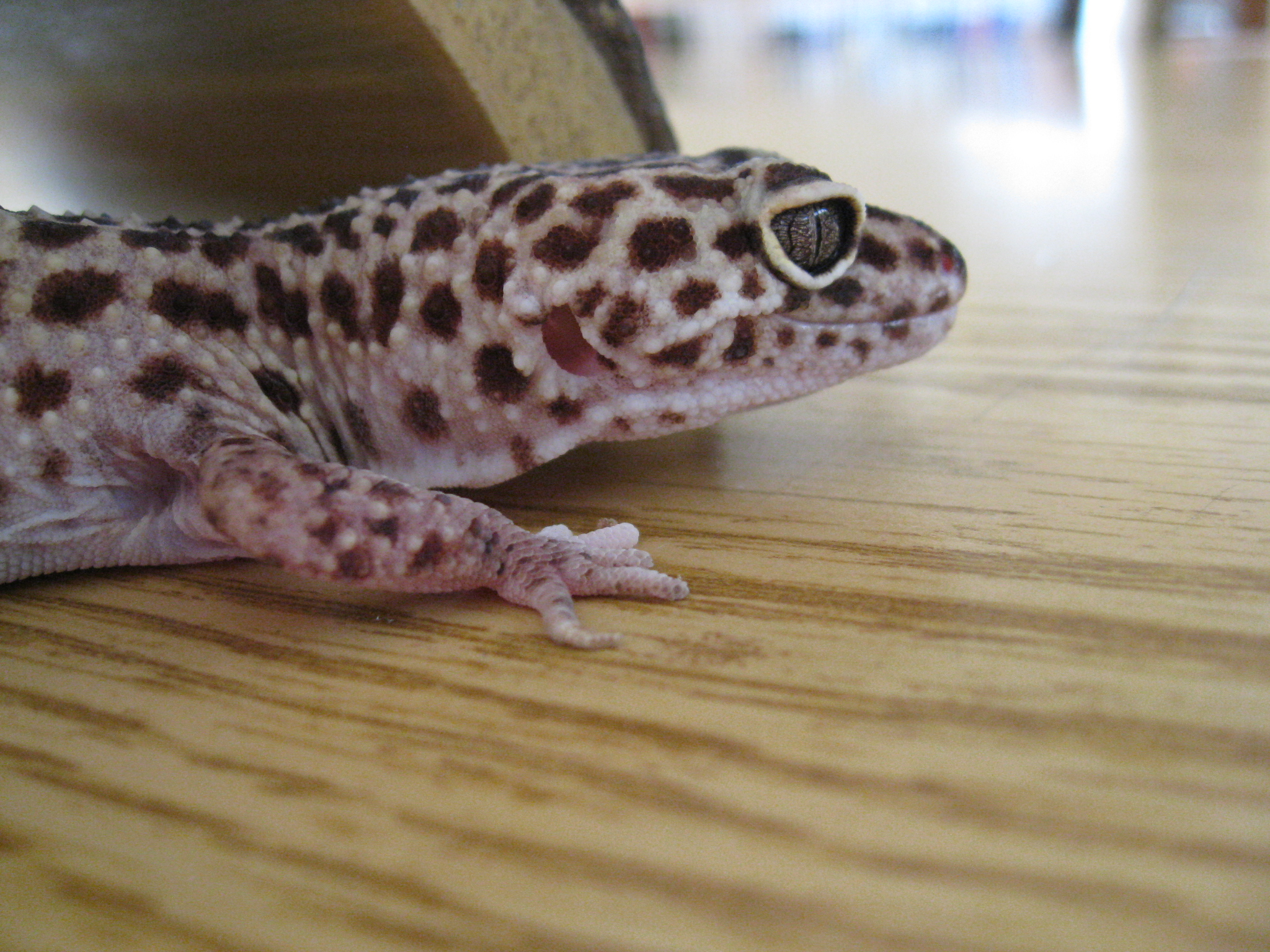 Lizard on table