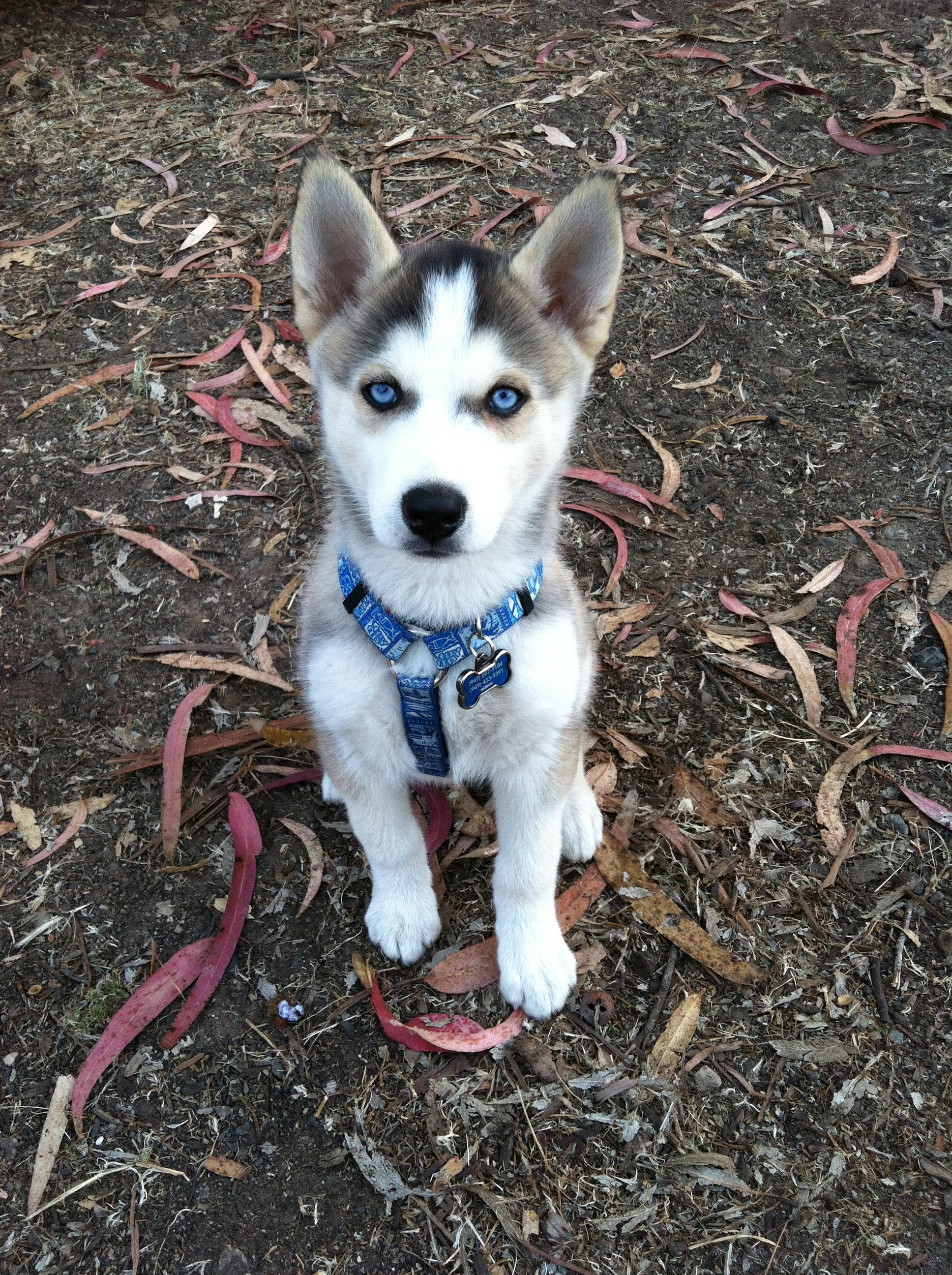 My husky puppy, Summer