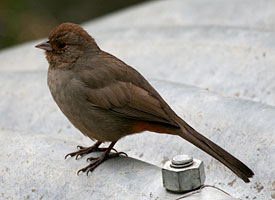 California Towhee (picture by Eric Rosenberg)