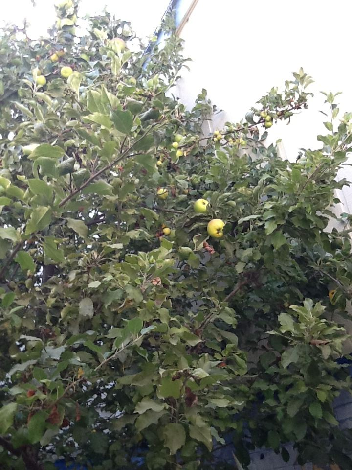 Apple Tree - type unknown